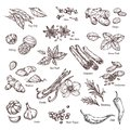 Hand drawn spices. Vanilla and pepper, cinnamon and garlic. Sketch kitchen herbs isolated vector set Royalty Free Stock Photo