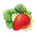 Hand drawn strawberry on white background with flowers drawing with colored pencils Stock Photo