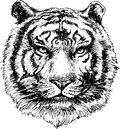 Hand drawn tiger head illustration of Stock Images