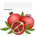 Ripe pomegranate on white background. hand drawn vector color images with a black outline