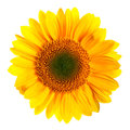 Hand-drawn vector illustration of sunflower - Heliantus annual. Realistic image in bright colors with highlights and