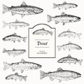 Hand Drawn Vector Illustrations of Trout Royalty Free Stock Photo