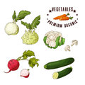 Hand drawn vegetarian illustration. Isotaled elements kohlrabi, couliflower, radish, zucchini. Vector sketch for card or