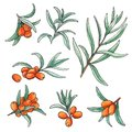 Hand drawn watercolor illustration set of sea buckthorn isolated elements on white background.