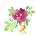 Hand drawn watercolor painting rose hips