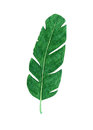 Hand drawn watercolor tropical banana leaf on the white