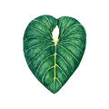 Hand drawn watercolor tropical leaf isolated on the white background