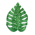 Hand drawn watercolor tropical monstera leaf on the white background Royalty Free Stock Photo