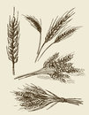 Hand drawn wheat ears sketch Royalty Free Stock Photo