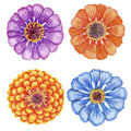 Hand drawn zinnia flowers four penciled bright Stock Images