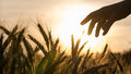 Hand of a farmer touching wheat field his caring for his crop at beautiful sunset Stock Photo