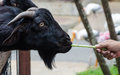 Hand feeding black goat in the farm Stock Images