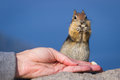 Hand feeding a chipmunk close up of holding nut and trusting Royalty Free Stock Photo