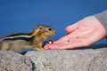 Hand feeding a chipmunk close up of holding nut and trusting Royalty Free Stock Image