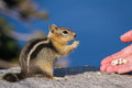 Hand feeding a chipmunk close up of holding nut and trusting Stock Photography