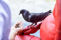 Hand feeding the feral pigeon human Royalty Free Stock Images