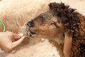 Hand feeding sheep by dry grass Stock Image