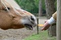 Hand that feeds a horse in the park Royalty Free Stock Photos