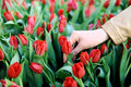 Hand in a field of red tulips Royalty Free Stock Photo
