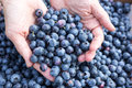Hand full of fresh picked blueberries stock image hands holding Royalty Free Stock Images