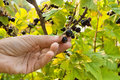 Hand of gardener picking ripe berries of black currant Royalty Free Stock Photo