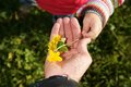 Hand gift nature protect a child give its a parent a spring flower Royalty Free Stock Image