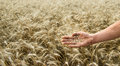 Hand of the grain-grower against a wheaten field Royalty Free Stock Photo