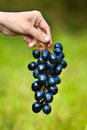Hand with grapes on blurred background Royalty Free Stock Photo