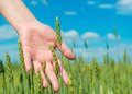 Hand in green agricultural field woman s perfect Royalty Free Stock Photo