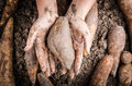 Hand handle yacon root fresh on the loose soil Stock Images