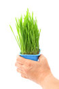 Hand hold wheatgrass in flowerpot Royalty Free Stock Photography