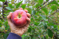 Hand holding an apple a man s a ripe red at orchard Royalty Free Stock Photos