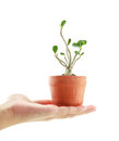Hand holding a azalea bonsai tree in flower pot isolated on white background Stock Photo