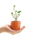 Hand holding a azalea bonsai tree in flower pot isolated on white background Royalty Free Stock Photo