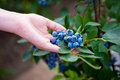 Hand holding bunch of blueberries.Blueberry bush. Northern highbush blueberry. Royalty Free Stock Photo