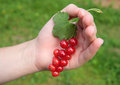 Hand holding bunch of large red currants Royalty Free Stock Photography