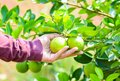 Hand holding fresh lemon on the tree Royalty Free Stock Photo
