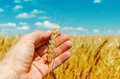 Hand is holding golden barley Royalty Free Stock Photo