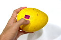 Hand holding an Indian Mango on Isolated White Background with focus on the purple label Selected Indian Mango