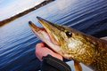 Hand holding large pike in a Finnish lake Royalty Free Stock Photo