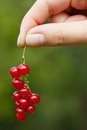 Hand holding red currants Stock Photo