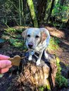 A hand holding up a dog cookie treat to a young yellow lab in the forest as she sits on a stump waiting to eat the treat.