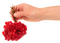 Hand holds the brush viburnum isolated on white background Stock Image