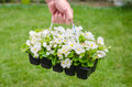 Hand holds container of white blossom begonia in garden Royalty Free Stock Photo