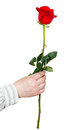 Hand holds one flower - red rose isolated Royalty Free Stock Photo