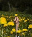 Hand of little girl with the dandelion Stock Image
