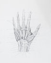 Hand muscles tendons pencil drawing detail of on white paper Royalty Free Stock Images