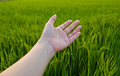 Hand on paddy field green background Royalty Free Stock Photo