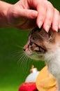 Hand patting kitten female a happy cut on green background studio shot Stock Photos
