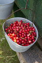 Hand picked organic cherries Stock Images